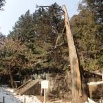 日光-奥宮脇の不思議な形の木